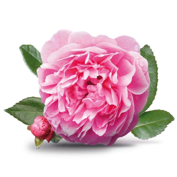 damaszener rose frische blüte