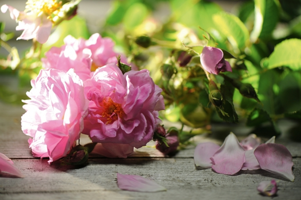 damaszener rose hellrosa frisch duftend