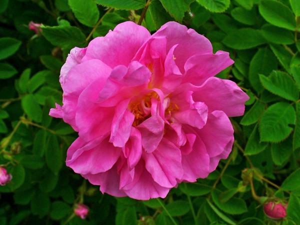 damaszener rose rosenöl kosmetik duft