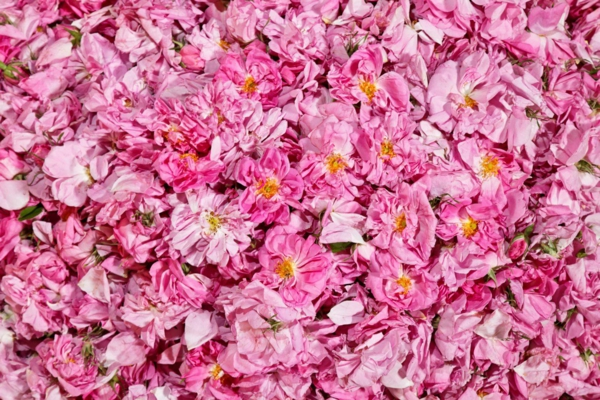 damaszener rose rosenernte frische blüten
