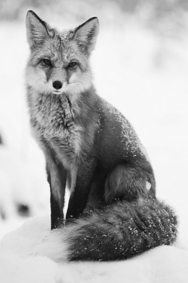 fuchs als haustier wilder fuchs im schnee