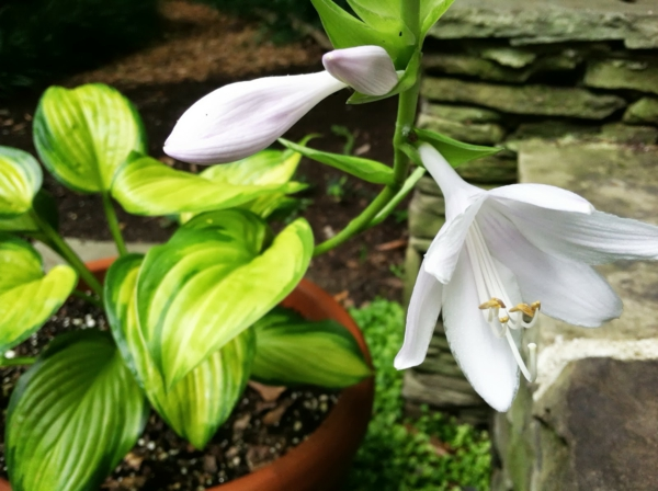funkie weiße blüte garten pflanzen