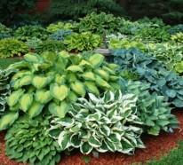 Funkien Pflanzen – toll für den Garten und für die Küche