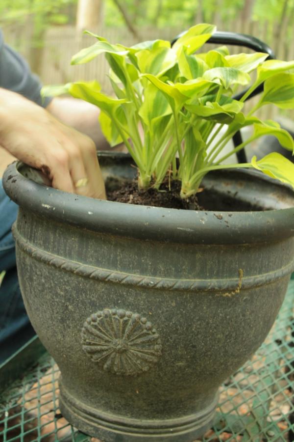 funkien pflanzen pflanztopf garten pflanzen
