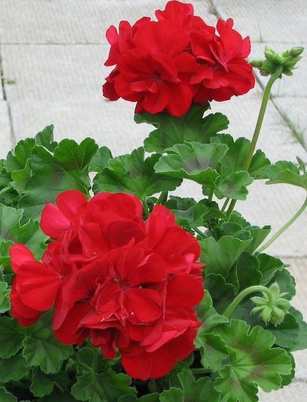 garten geranium pflanze rote blüten