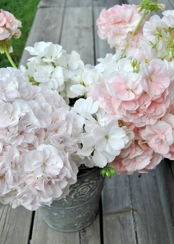 garten pflanzen geranium weiß blumentopf