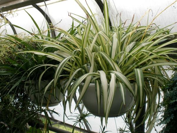 schöne dekoideen Chlorophytum hängekorb zimmerpflanzen