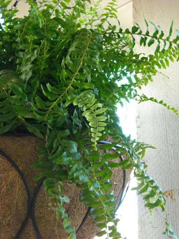gartenpflanzen farne blumentopf zimmerpflanze deko
