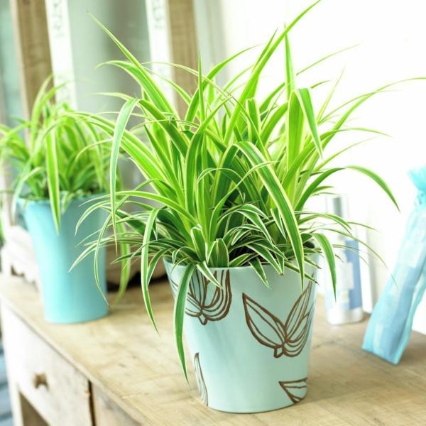 gartenpflanzen zimmerpflanzen Chlorophytum comosum blumentopf