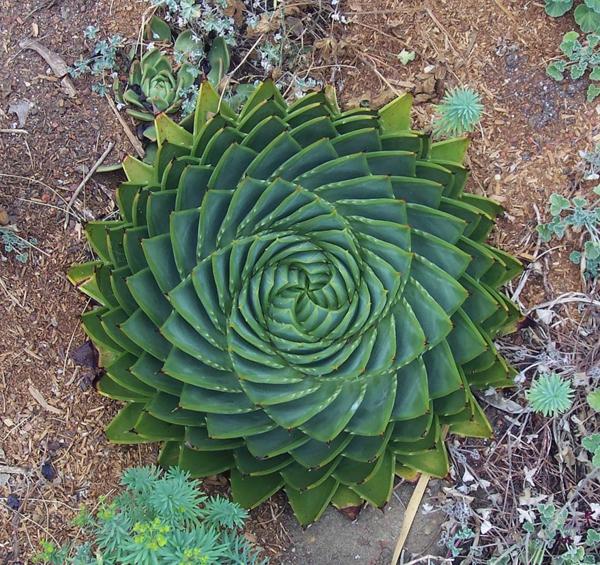 natur formen aloe polyphylla