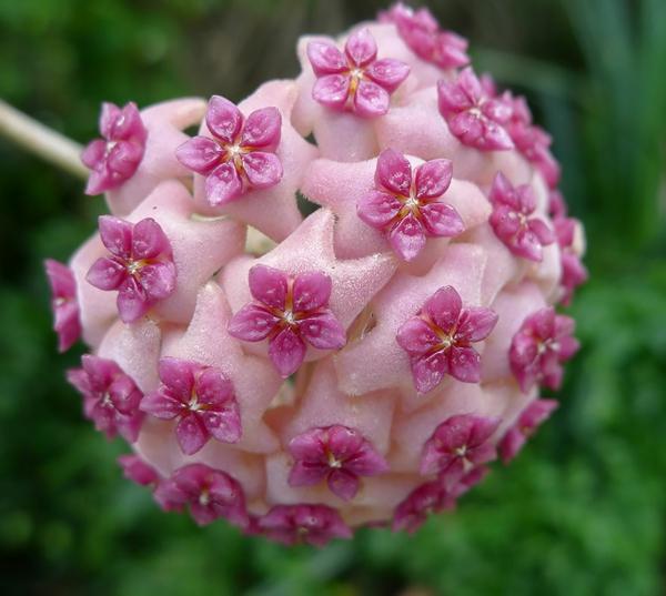 geometrische formen hoya aldrichii