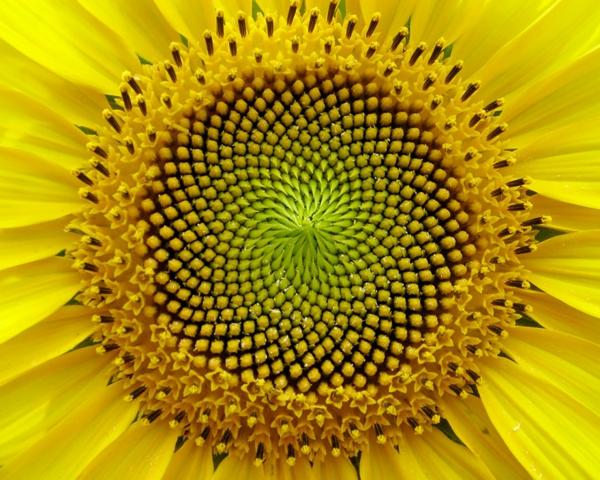 geometrische formen sonnenblume blüte
