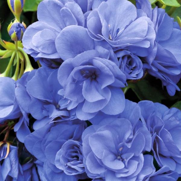 geranium blaue blüten schöne zimmerpflanze