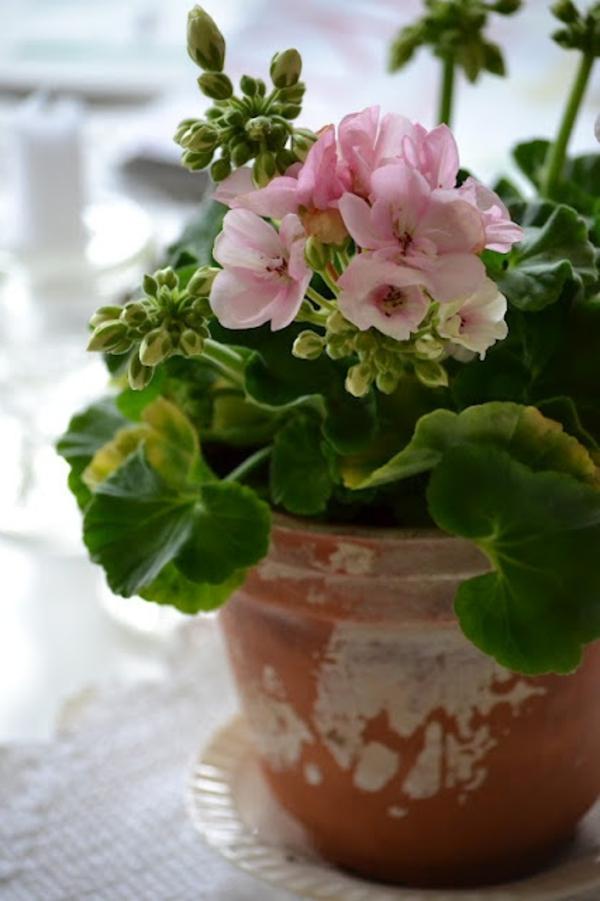 geranium pflanze rosa blüten rustikaler blumentopf