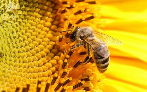 ist honig gesund pollen nektar sammeln bienen
