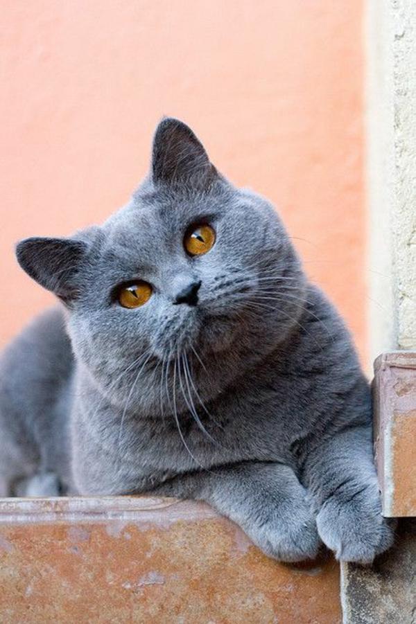 niedliche Katze Haustier Britisch Kurzhaar grau