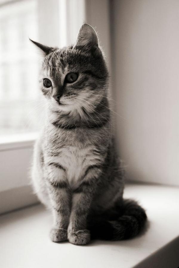 niedliche Katze Haustier foto schwarz weiß