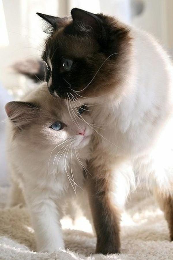 niedliche Katze Haustier katzenrassen siamesische katze langhaarig