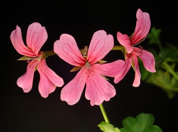 pelargonien Pelargonium peltatum schöne farbe