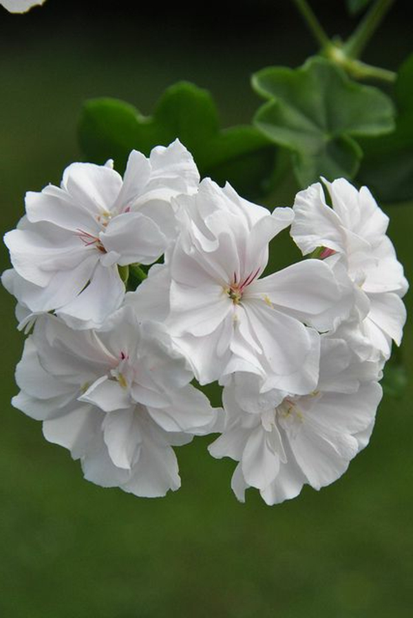 pelargonien garten pflanzen weiße blüten