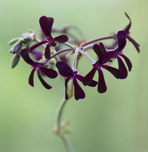 pelargonien pelargonium sidoides garten pflanzen