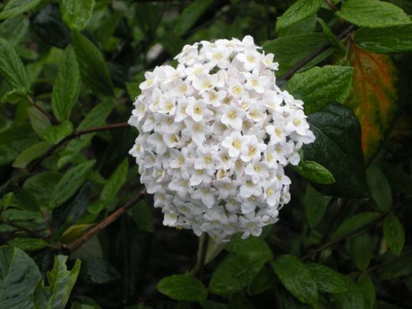 schöne dekoideen viburnum blüte weiß