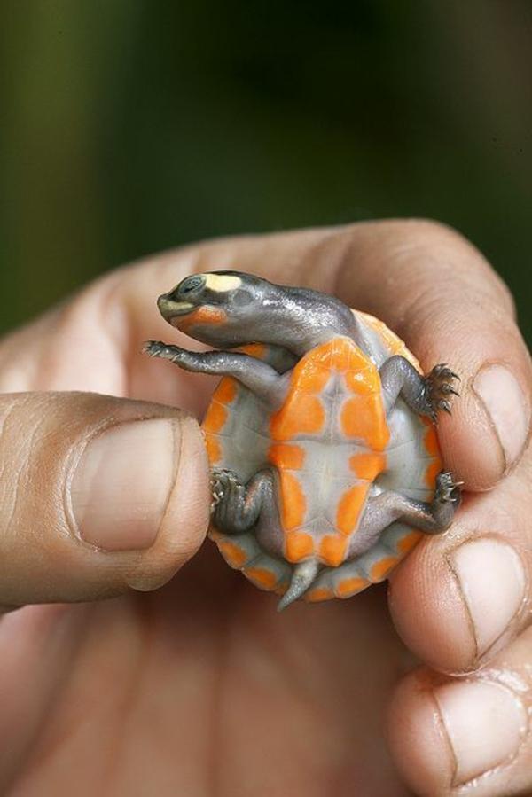 schildkröte haustier schöne färbung haustiere