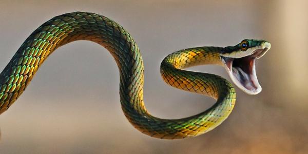 schlangen als haustier grün gelb