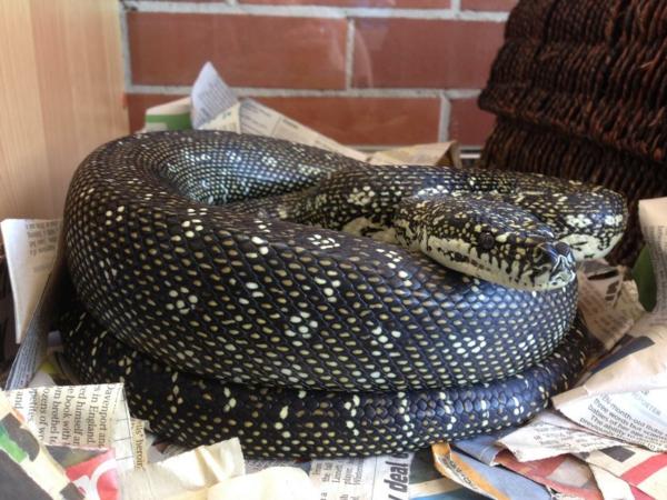 schlangen als haustier python