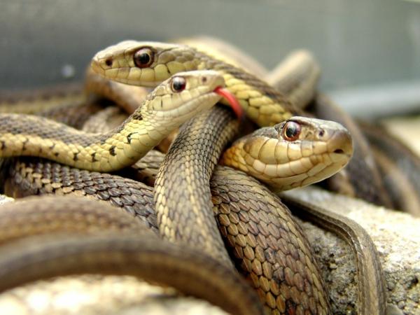 schlangen als haustier schlangenarten