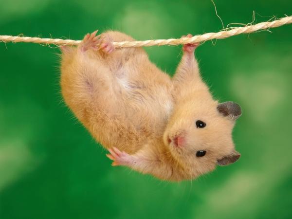 wow haustiere hamster klettern