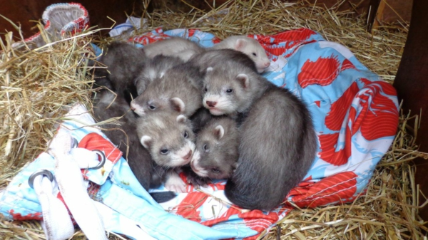 wow haustiere iltis kleine wildtiere