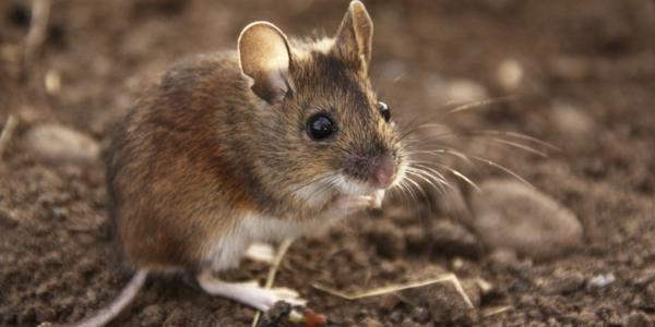 Maus Als Haustier Wow Haustiere Maus Hausmaus