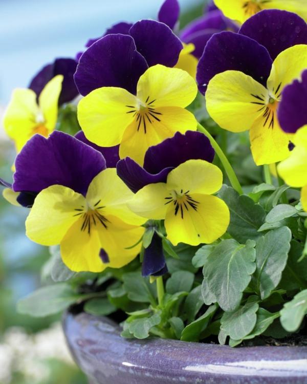 gartenpflanzen veilchen lila gelb blüten