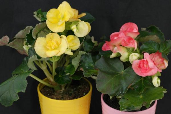 zimmerpflanzen begonien rosa gelb blumentöpfe