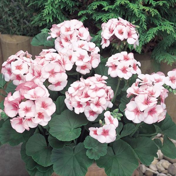 zimmerpflanzen pelargonien weiß rosa blüten