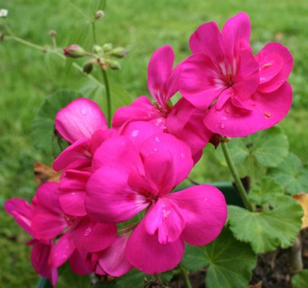 zimmerpflanzen pelargonium zonale geranium lila