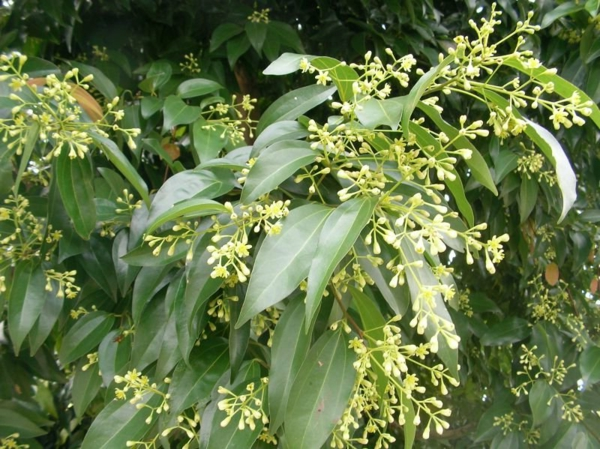 zimt Cinnamomum cassia kochen essen
