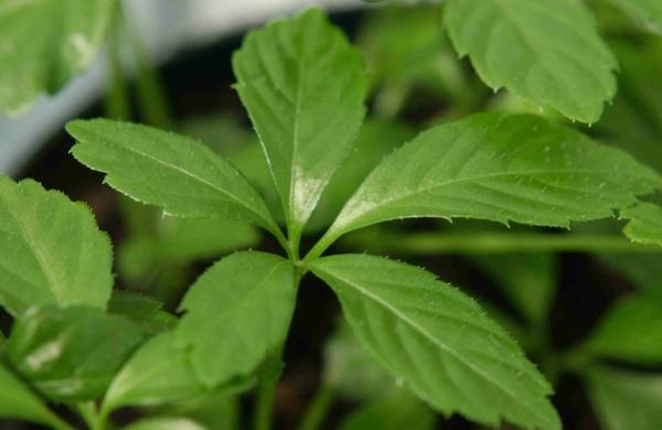 Jiaogulan für langes leben kräuter und heilpflanzen Gynostemma pentaphyllum