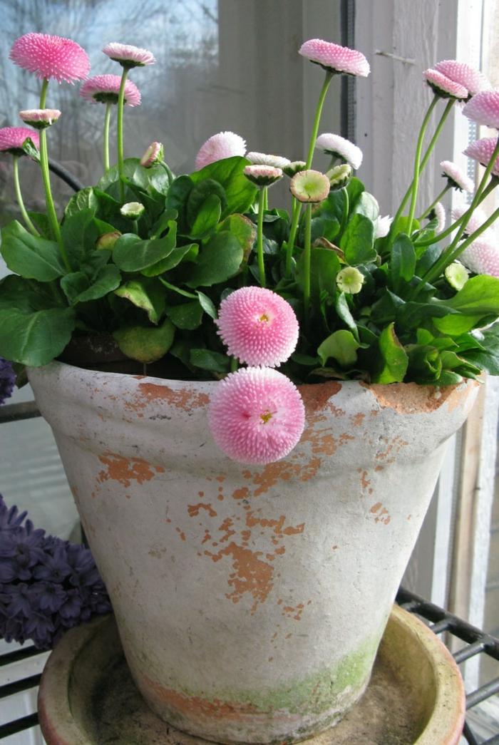 balkonpflanze gänseblümchen arten farbig schön interessante blüten