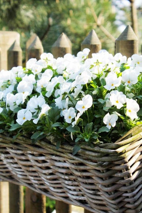 balkonpflanzen Stiefmütterchen weiße blüten balkon gestalten
