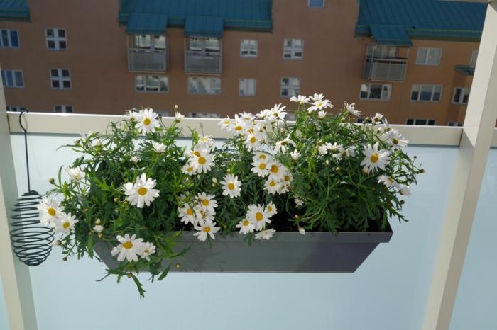 balkonpflanzen balkon gestalten gänseblümchen