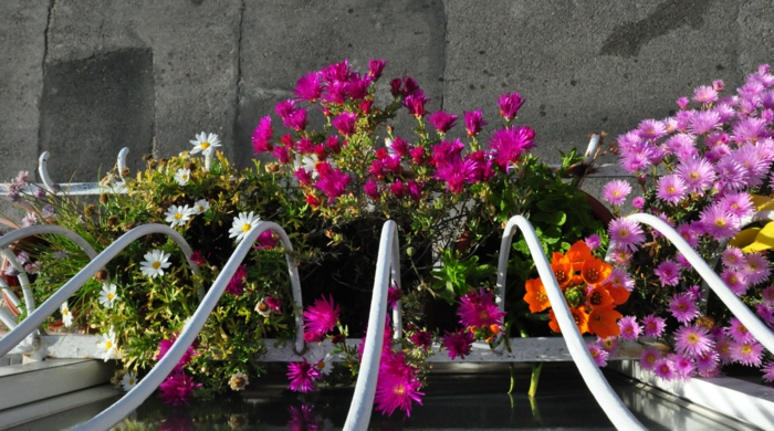 balkonpflanzen gänseblümchen andere pflanzen farbige balkongestaltung