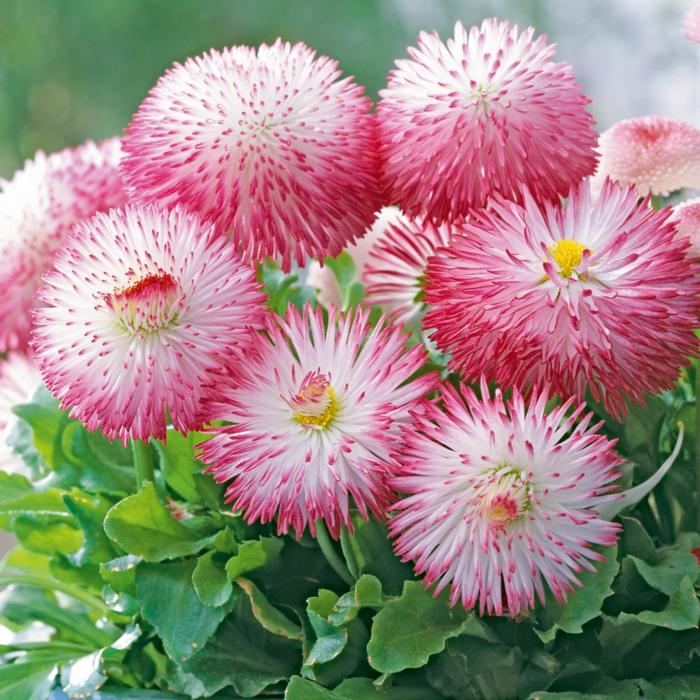 balkonpflanzen gänseblümchen ausgefallene blüten weiß rosa