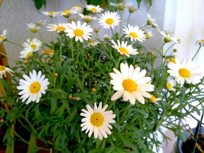 balkonpflanzen gänseblümchen weiß balkon dekoideen