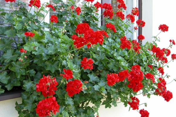 balkonpflanzen geranien züchten rote blüten