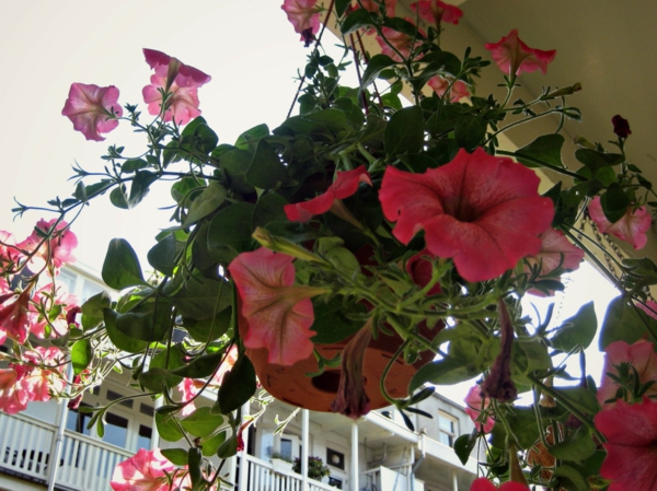 balkonpflanzen petunien hängend balkon gestalten