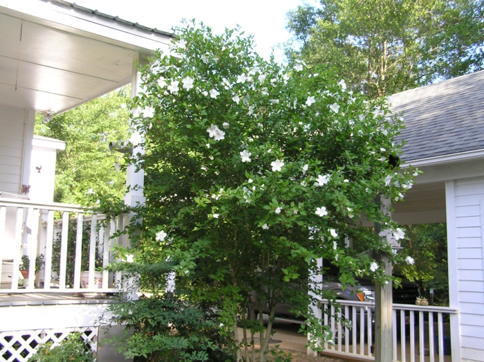 gartenpflanze gardenie baum außenbereich dekorieren