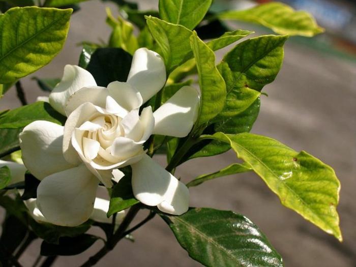 gartenpflanze gardenie blüte garten gestalten
