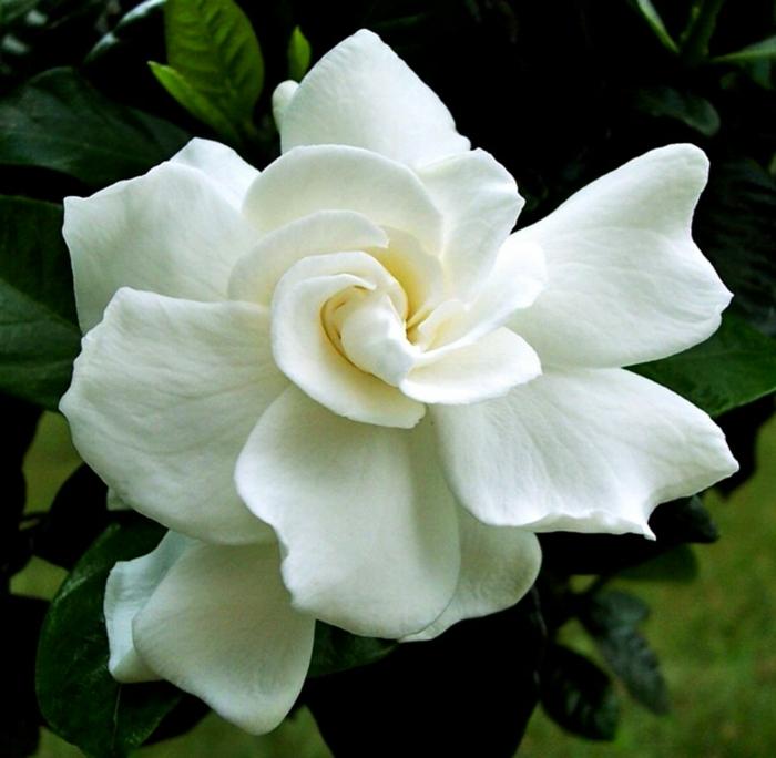 gartenpflanze gardenie blüte weiß schön